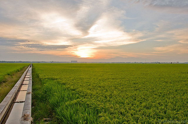 Picture of paddy field
